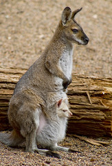 [Free Images] Animals 1, Mammals, Animals - Parent and Child, Wallabys ID:201209201000