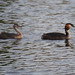 Great Crested Grebe and chick (Ed Drewitt)
