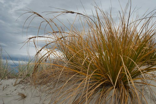 Pingao Grass. Photo by Craig Mckenzie (Flickr)