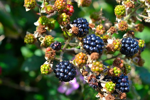 blackberries on the roadside