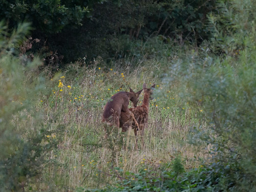 Roe deer-mating
