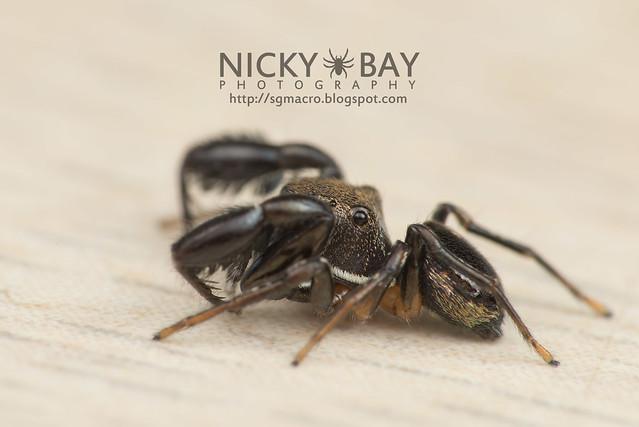 Jumping Spider (Harmochirus brachiatus) - DSC_5536