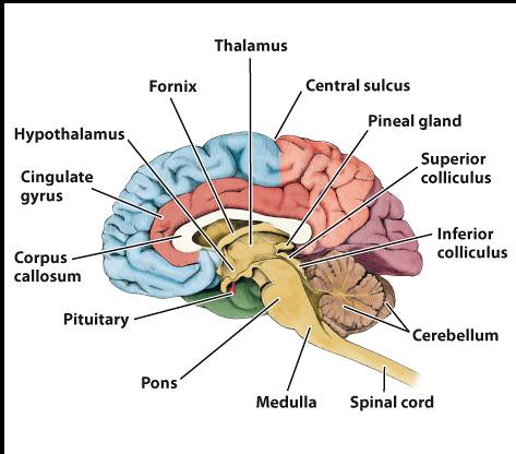 Recent Photos The Commons Getty Collection Galleries World Map App    Midsagittal Section Of The Brain Labeled