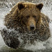Enter with a splash!  Coastal brown bear fishing at Lake Clark National Park and Preserve 3546 by Dr DAD (Daniel A D'Auria MD)