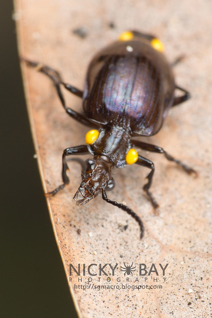 Ground Beetle (Carabidae) - DSC_8466