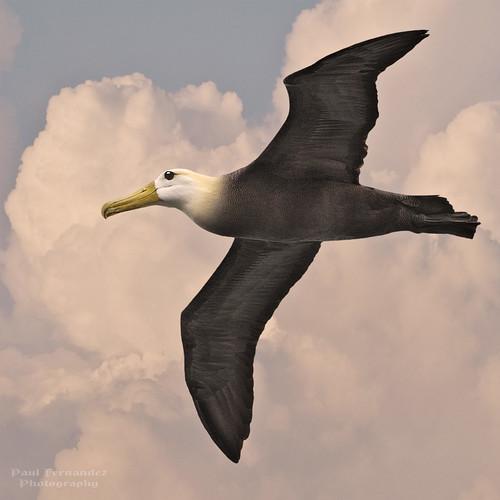 ngc galapagos albatross espanola española galapagosislands wavedalbatross galapagosalbatross suarezpoint albatrosswaved albatrossgalapagos