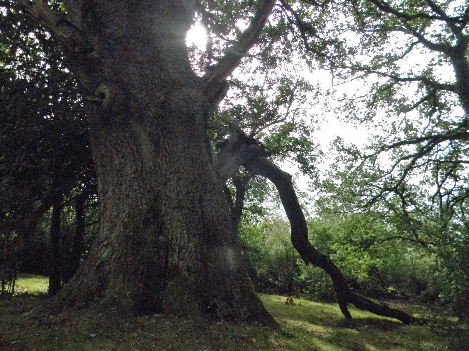Big tree Brockenhurst Circular