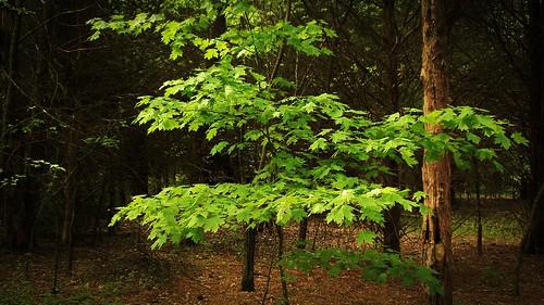 park trees tree green forest spring maple frankliskepark