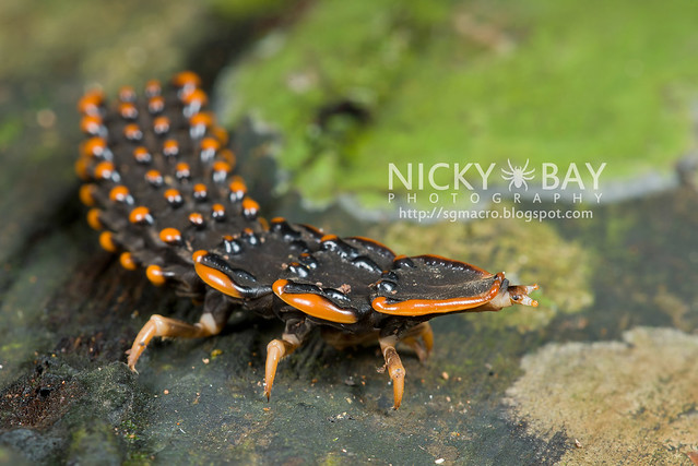 Trilobite Beetle (Duliticola sp.) - DSC_7427