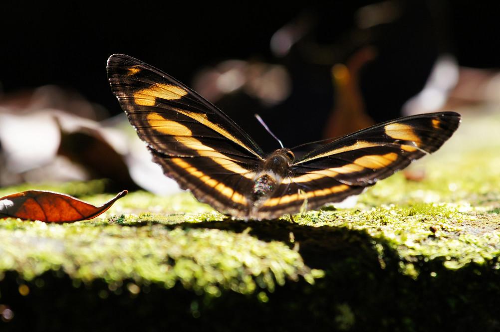 台灣單帶蛺蝶-2