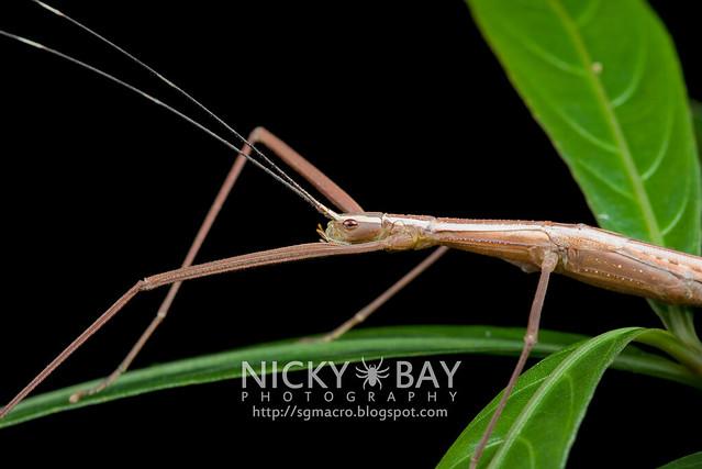 Stick Insect (Phasmatodea) - DSC_6883