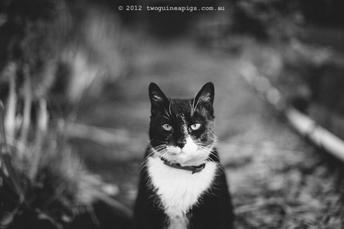 Rambo the Cat by twoguineapigs Pet Photography [1]