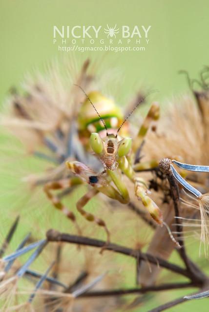Flower Mantis (Creobotra sp.?) - DSC_5144
