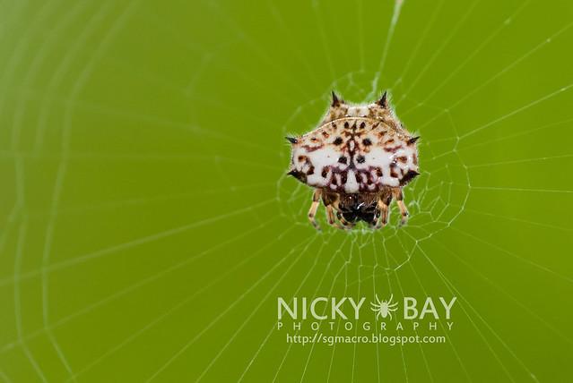 Spiny Back Orb Weaver (Gasteracantha kuhli) - DSC_4929