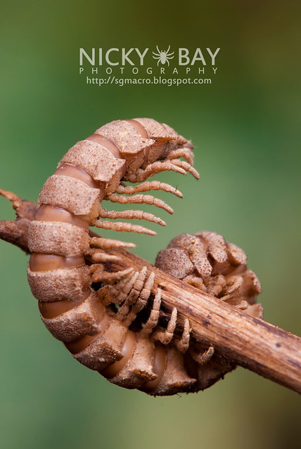 Flat-backed Millipede (Platyrhacidae) - DSC_4394