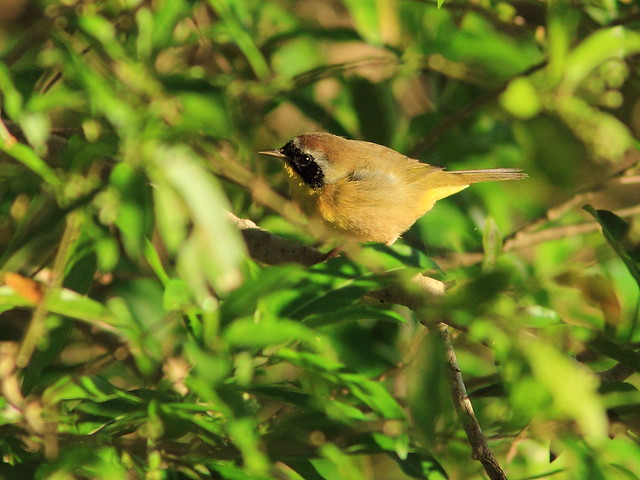 Common Yellowthroat 20121005