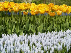 Dutch Tulips Grape Hyacinth, Keukenhof Gardens, Netherlands - 0624