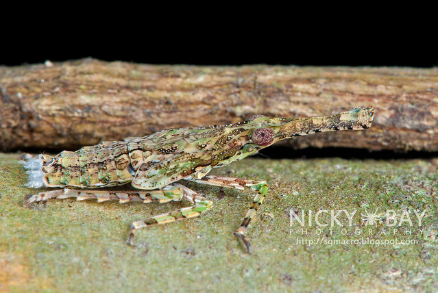 Planthopper (Fulgoridae) - DSC_2959