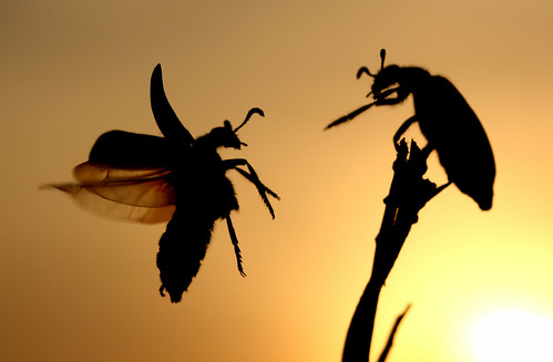 sunset macro nature animals canon photography fly wildlife beetle flies beetles naturephotography insectbehavior beautifulbugs wildlifeindia redspottedbeetle karthikphotography beetleflight
