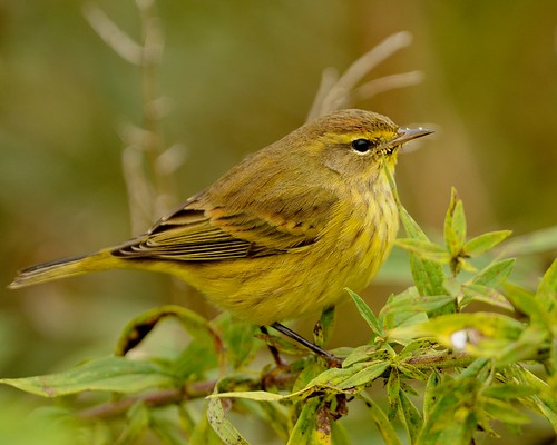 Palm Warbler.  Photo © Flickr User: snooker2009.