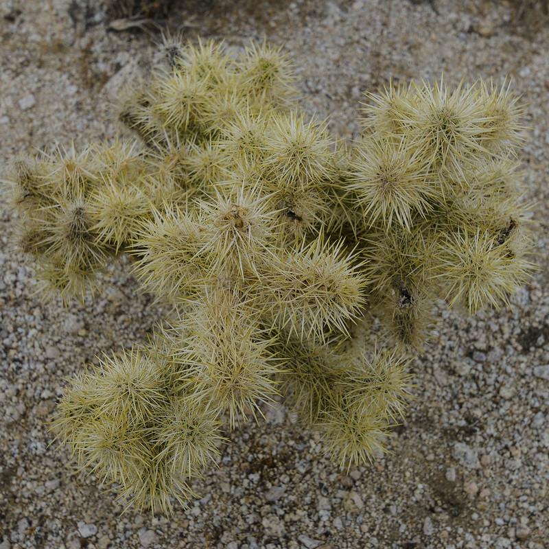 Desert Plant Life - Cholla Cactus
