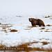 The Himalayan brown bear by Awais Ali Sheikh