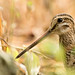 Pin-tailed / Swinhoe's Snipe by Dave 2x