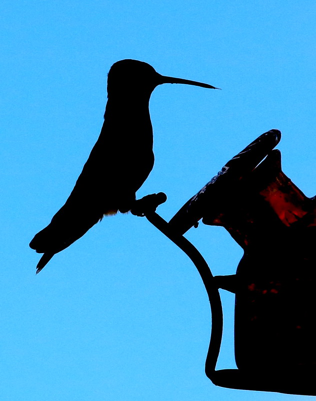 Hummingbird in Silhouette