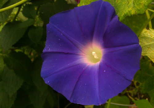 Morning Glory - Ipomoea nil  by Gerris2