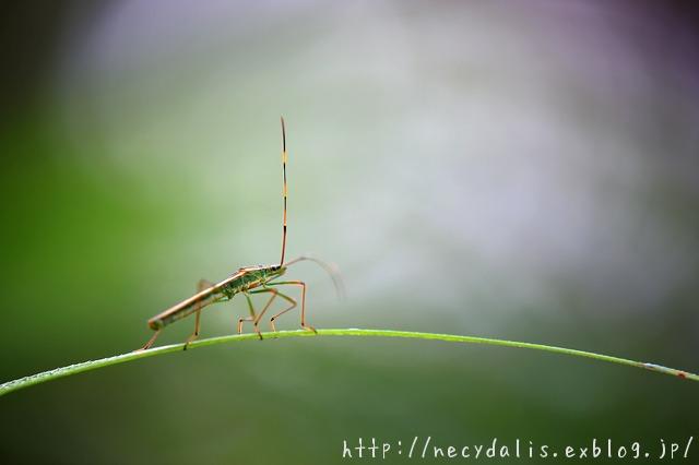クモヘリカメムシ [Leptocorisa chinensis]...