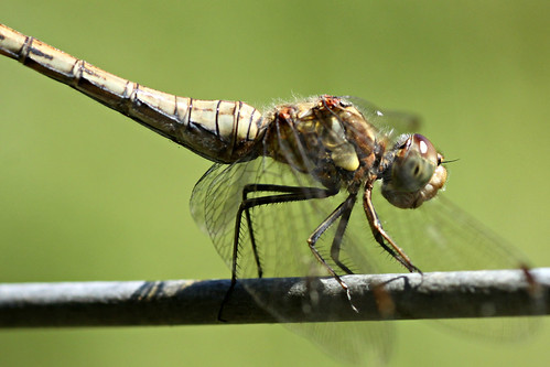 Common Darter (F)