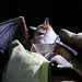 Greater Mouse-eared Bat (Roy Taylor)