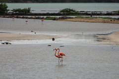 Flamingoes, Salina St. Marie