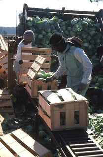Farm workers packing cabbage into crates: Hastings, Florida