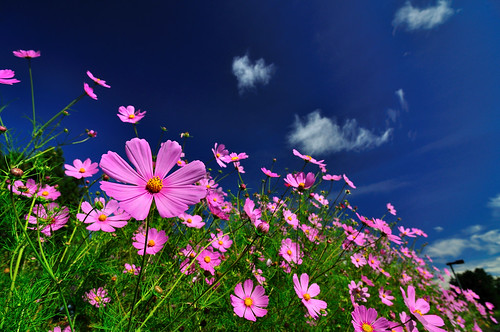 Cosmos at Fushoushan Farm 福壽山農場
