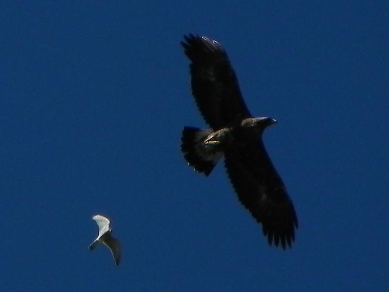 L'aigle royal poursuivi par un rapace (2)