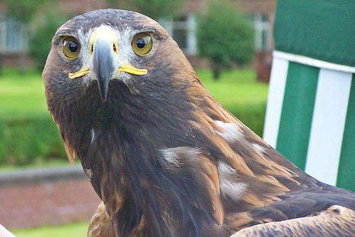 Orla the Golden Eagle