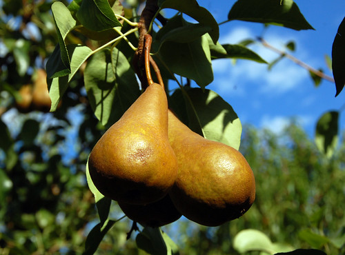 244. Pear of pairs