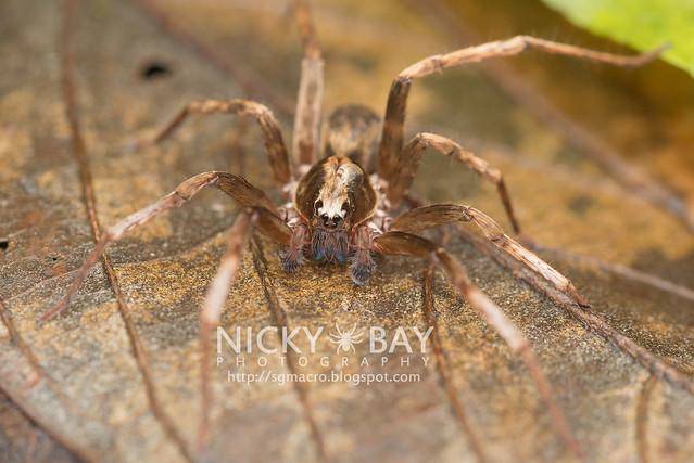 Wandering Spider (Ctenidae) - DSC_4338