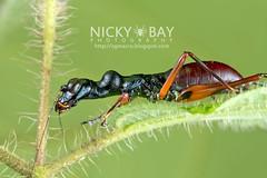 Tiger Beetle-Mimic Katydid (Condylodera tricondyloides) - DSC_1738
