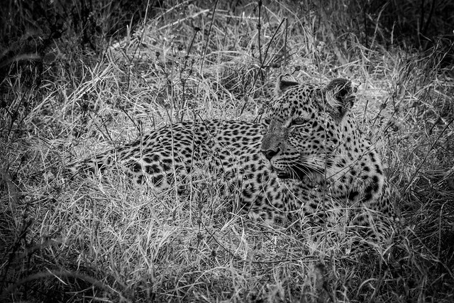 Lazy Leopard in South Luangwa, Zambia