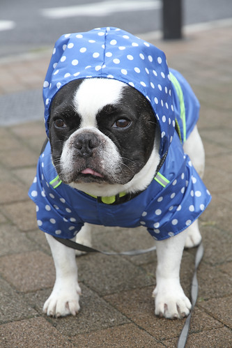 French Bulldog Chikuwa in new raincoat