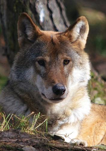 Wolf by David 154