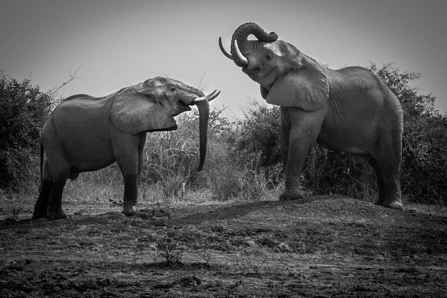 Elephants Posturing - South Luangwa - Zambia