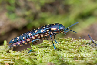 Jewel Beetle (Polyctesis sp.) - DSC_5897