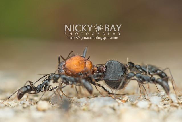 Ants - DSC_5703