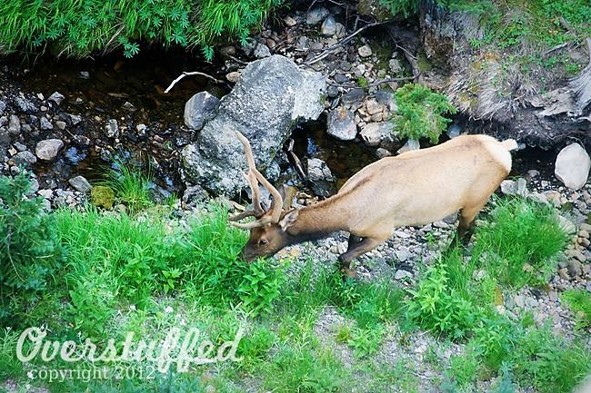 IMG_4266 EV Day 4 Yellowstone Elk web