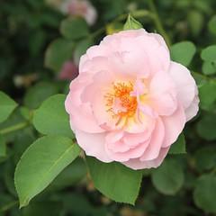 shrub(0.0), garden roses(0.0), camellia sasanqua(0.0), floribunda(0.0), rosa rubiginosa(0.0), rosa acicularis(0.0), rosa rugosa(0.0), rosa 㗠centifolia(1.0), flower(1.0), rosa gallica(1.0), plant(1.0), camellia japonica(1.0), rosa pimpinellifolia(1.0), petal(1.0),