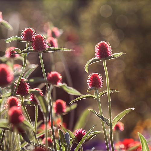 red summer flower macro green stem bokeh petal summerevening eveninglight 100mmf28 globeflower globeamaranth canoneos50d pennstatearboretum pennstatebotanicalgarden