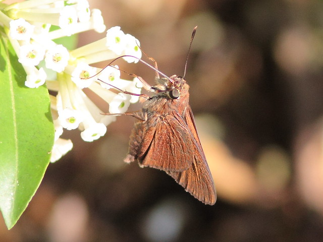 Small skipper poss Swarthy 20120927